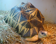 Zinadine, my male Radiated Tortoise.  I hope to breed my Radiateds in the next year or two.