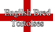 English Bred Tortoises